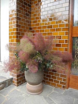 006 玄関の花 スモークツリー