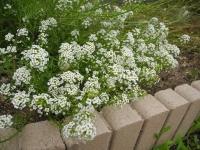西の花壇 ニゲラの前のアリッサム