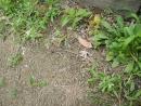 雑草に紛れるアリッサムのこぼれ種