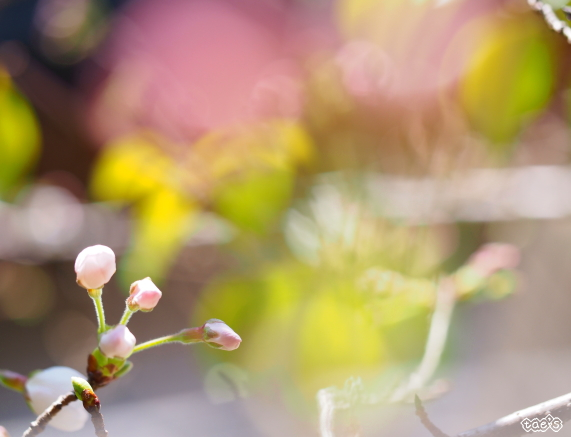 sakura-6.jpg