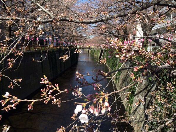 2015目黒の桜