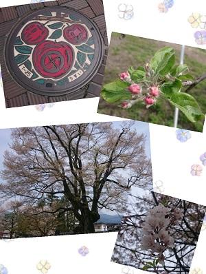 つぼみ&桜