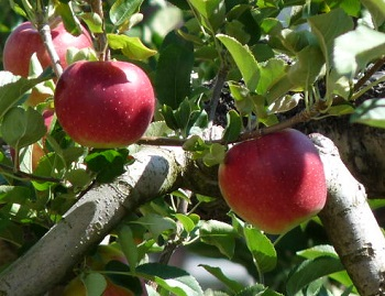 P1160791飯田りんご