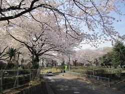 集会所の桜150201
