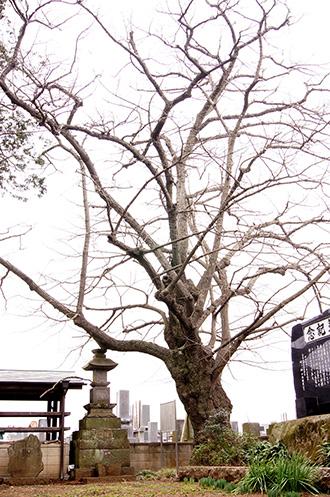 150315古河市東漸寺菩提樹①