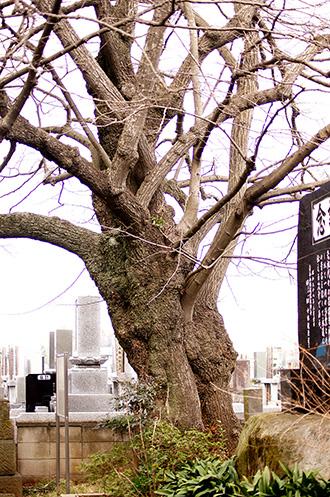 150315古河市東漸寺菩提樹②
