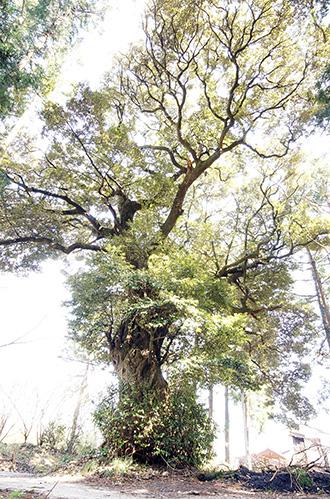 150329愛宕神社の椎①.jpg