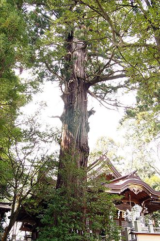 150329日立市 艫神社の杉①