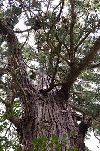 150329日立市 艫神社の杉②