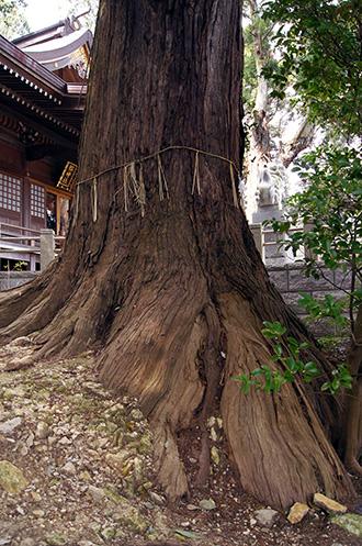 150329日立市 艫神社の杉④