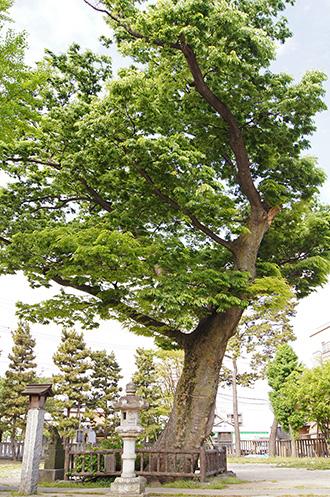 150430豊田神社の欅①