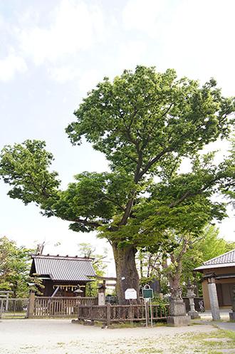 150430豊田神社の欅③