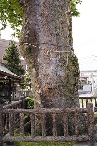 150430豊田神社の欅④