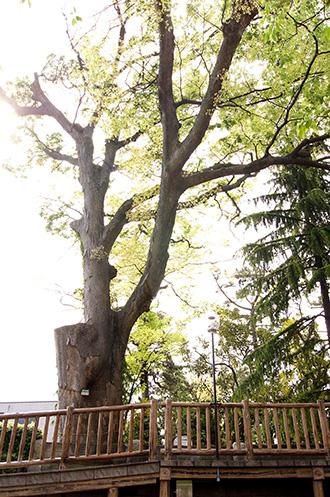 150430二之江神社の欅②