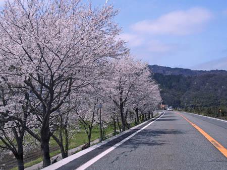 桜2015.4.4