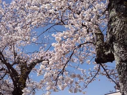 桜満開2015年4月