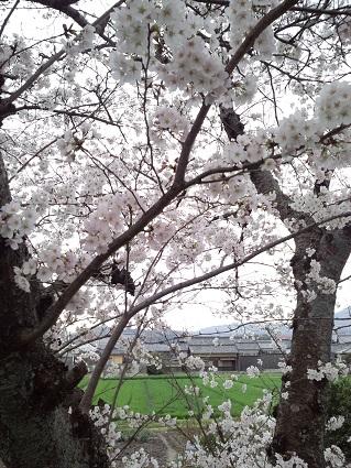 雨のおかげで残る桜2015年4月