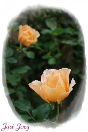 rose601 004