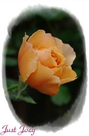 rose601 012