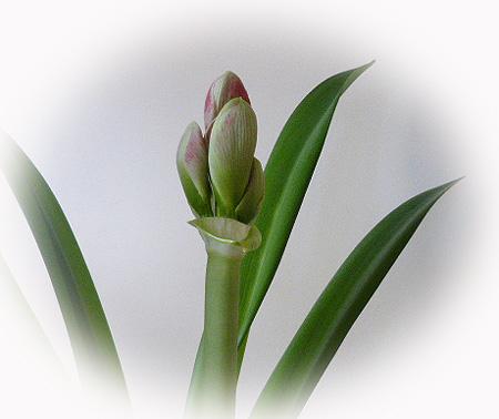 二つ目の花芽