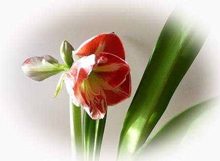 ジェルバ-ズ開花