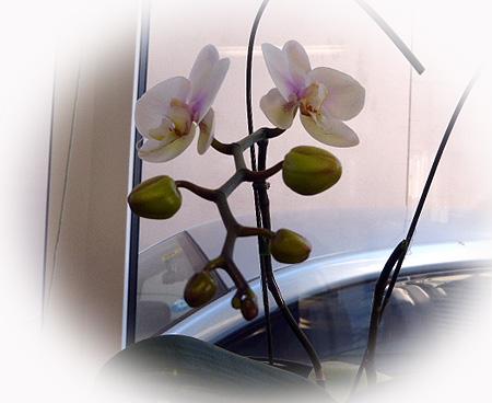 サマ-ギフト・再びの開花
