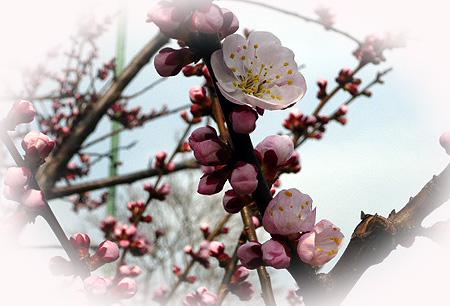 杏開花 4