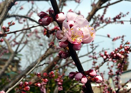 杏開花 5