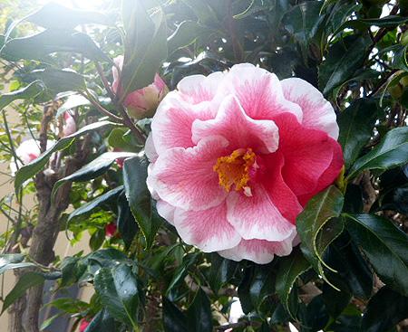 椿も開花 2