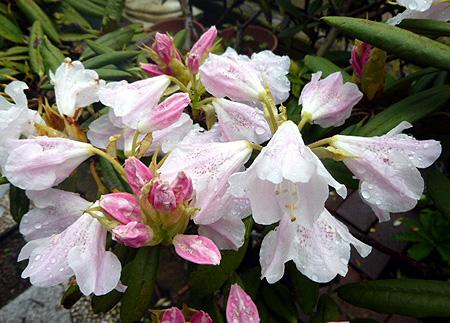 1 シャクナゲ開花