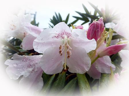 シャクナゲ開花