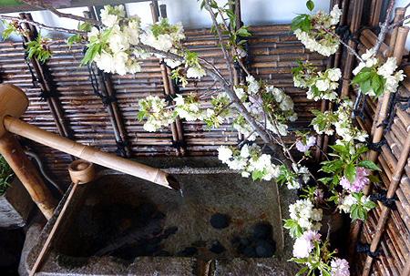 入り口・桜