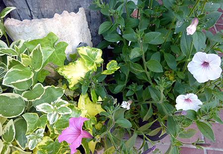 挿し芽からのサフィニア