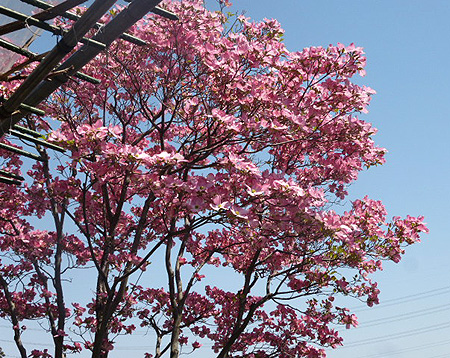 我が家の花水木 2