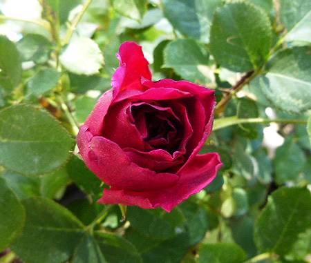 我が家の薔薇も・・・