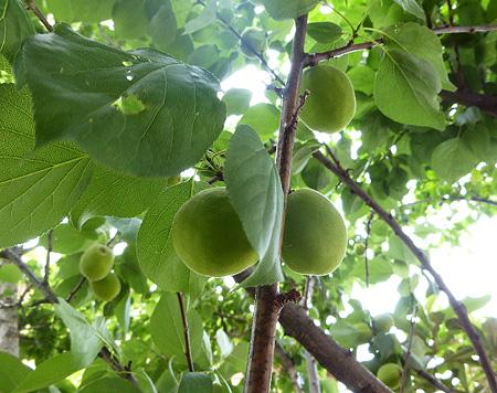 杏収穫スタンバイ