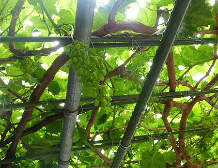 今朝の葡萄