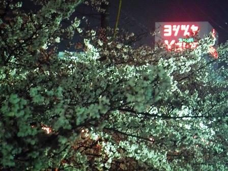 1藤丸の桜2