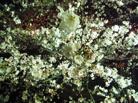 1藤丸の桜3