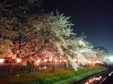 1藤丸の桜4