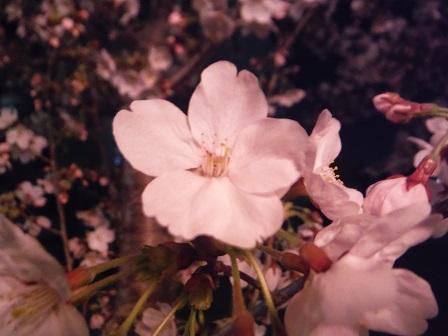 1藤丸の桜6