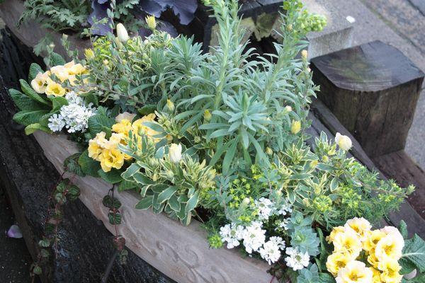 春の黄色系寄せ植え