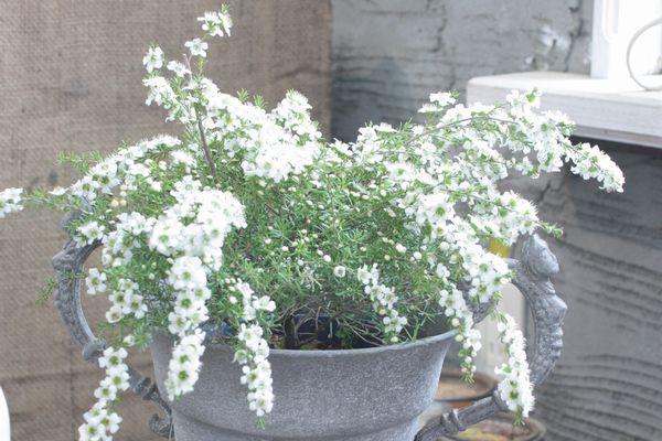 白花ギョリュウバイ