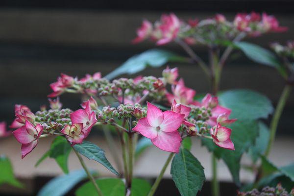 ガーデン紫陽花・KURARA