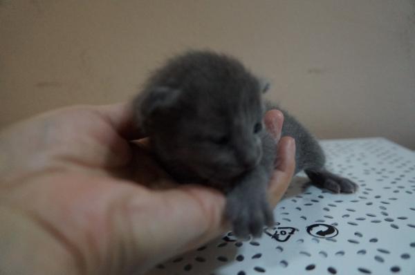 korat cat kitten1