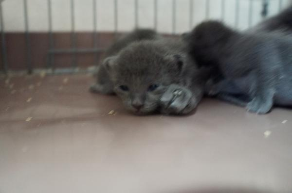 korat cat kitten3