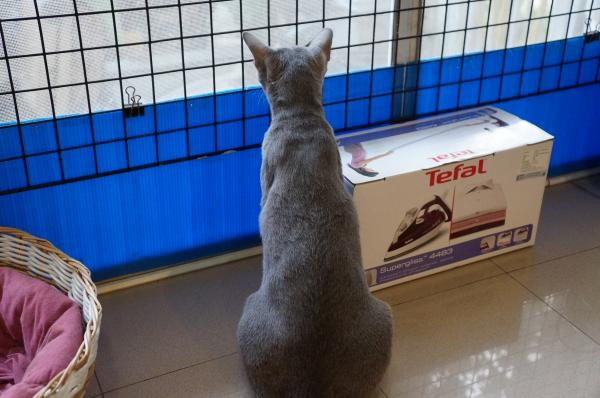 korat cat momo2