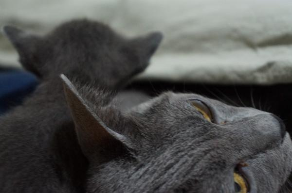 kittens koratcat3
