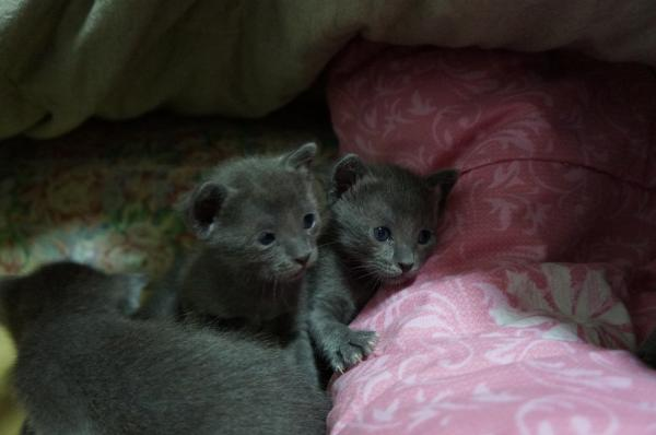 kittens koratcat1
