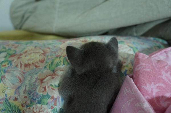 kitten koratcat2